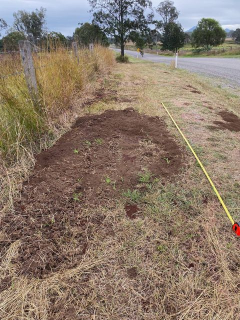 Huge 4.5 x 1m fire ant nests along Undullah Road, Cedar Grove, Scenic Rim, SEQ, within fire ant flight distance of major turf farms.  Inside Fire Ant Program Biosecurity Zone since 2015. Utter failure.